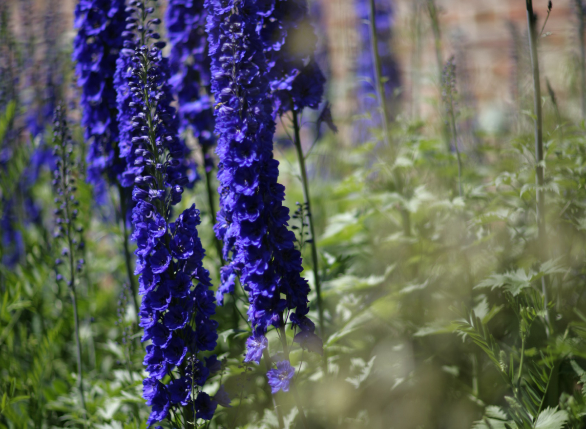 Tall blue flowers