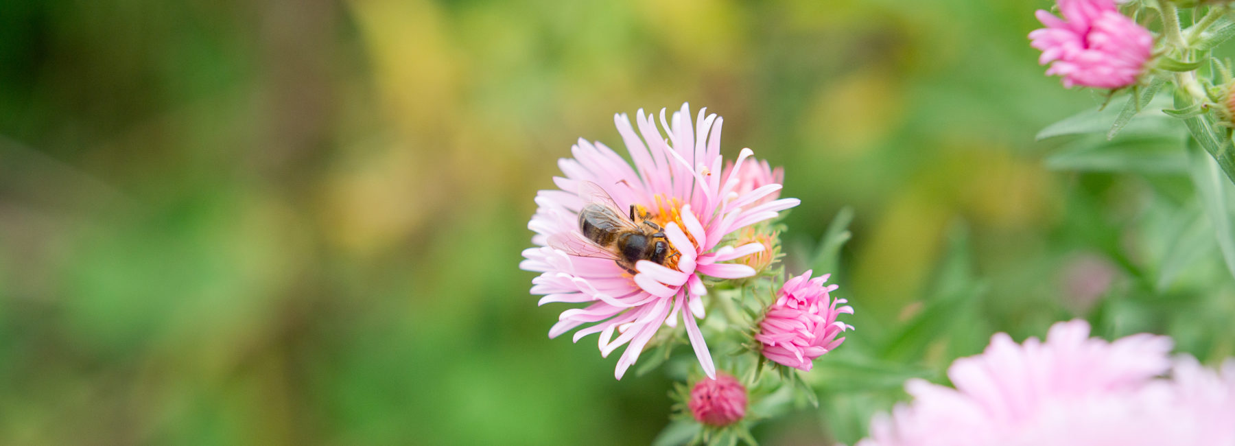 A bee sitting in a pink flower, with a background of green