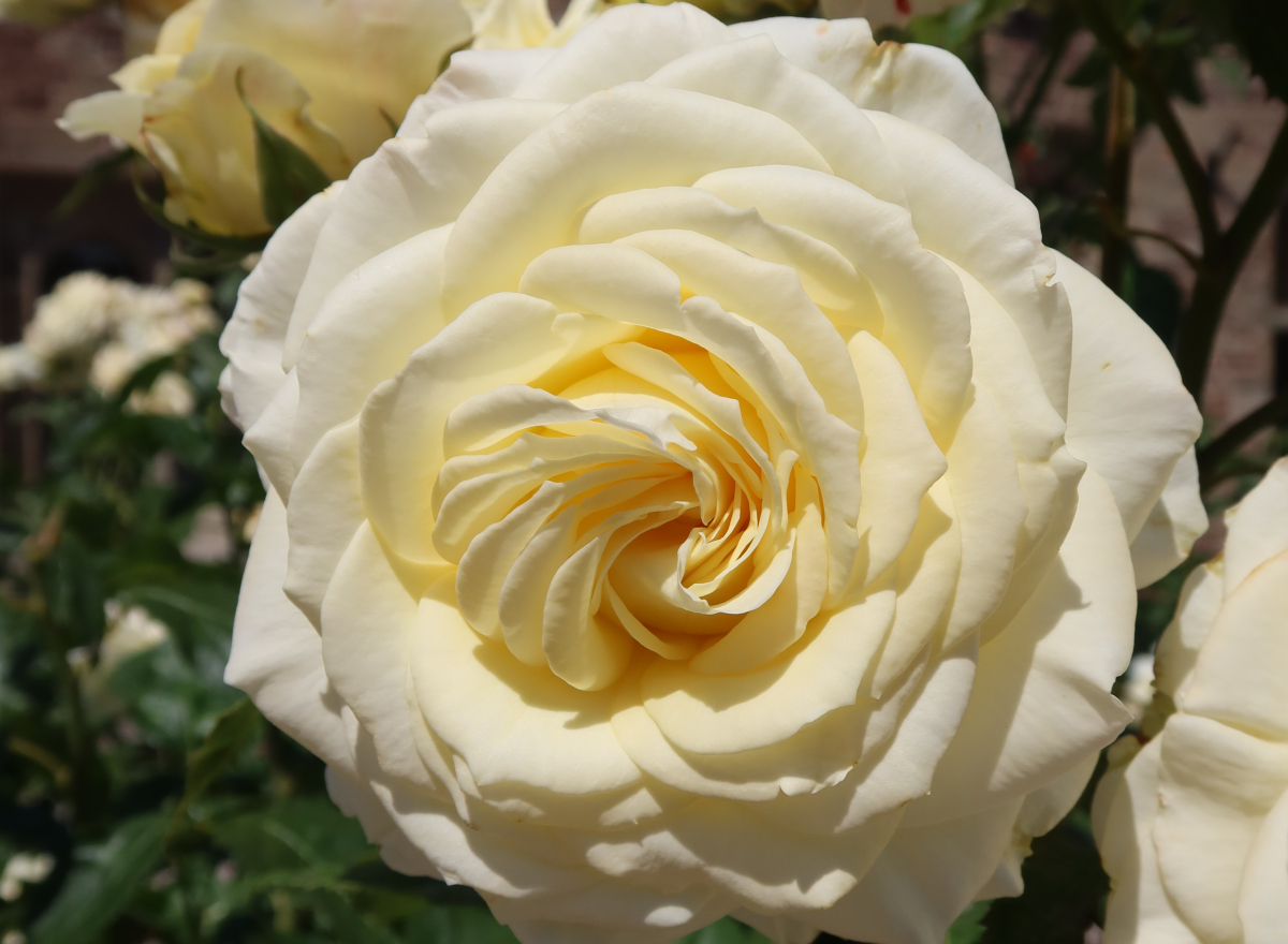 Yellow and cream roses