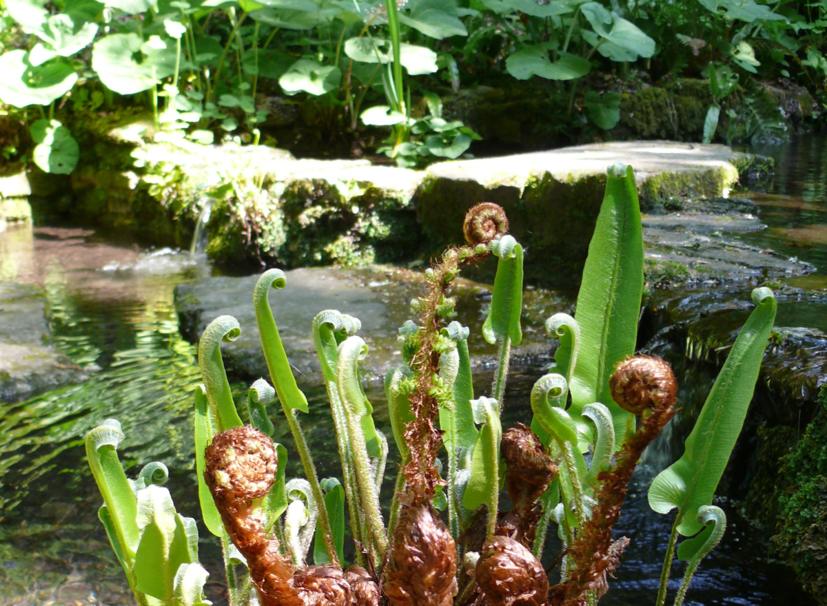 Unfurling ferns in front of stepping stones