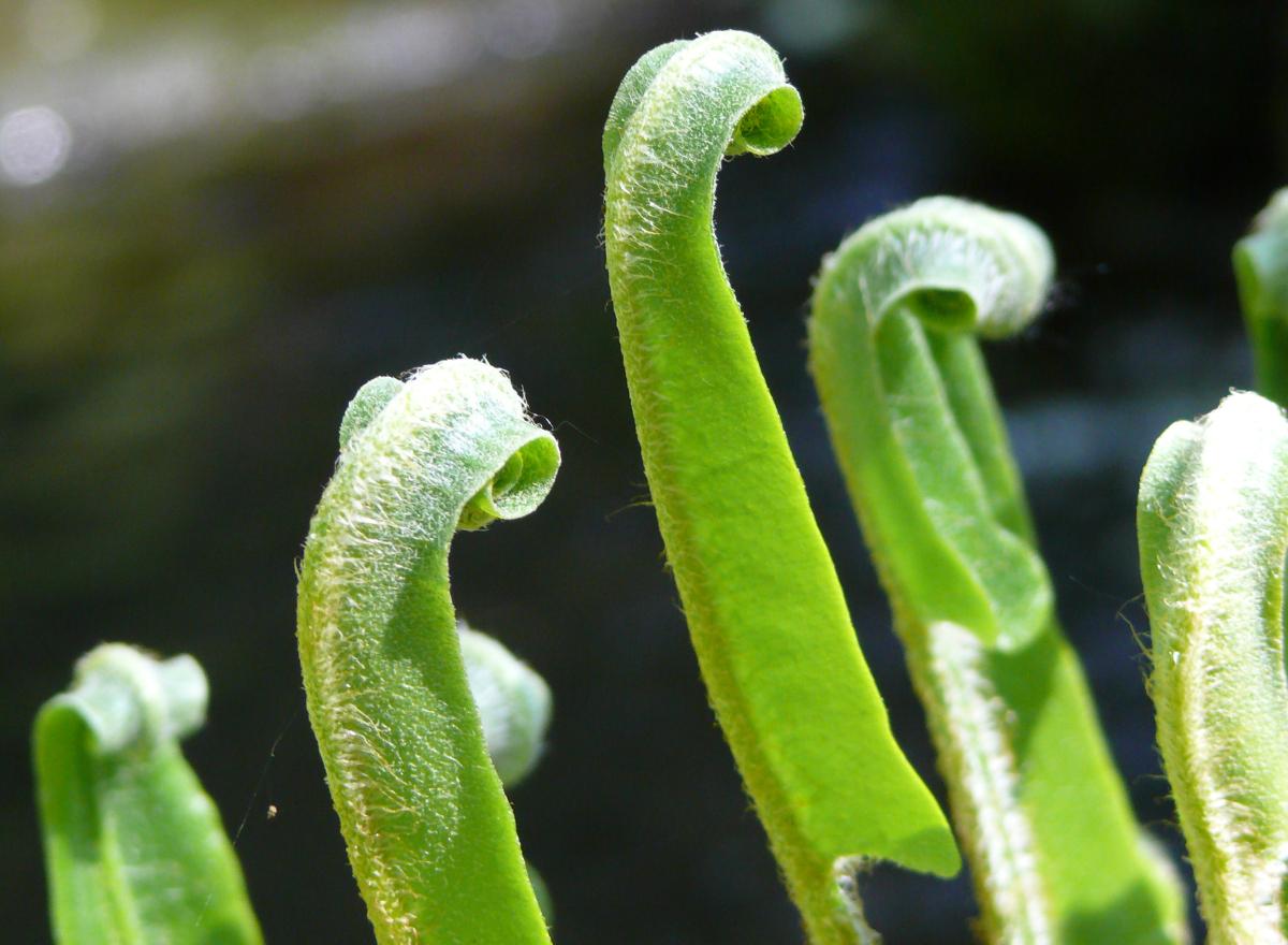 Close up of unfurling ferns