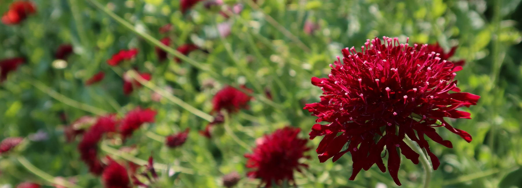 Dark red flower in greenery