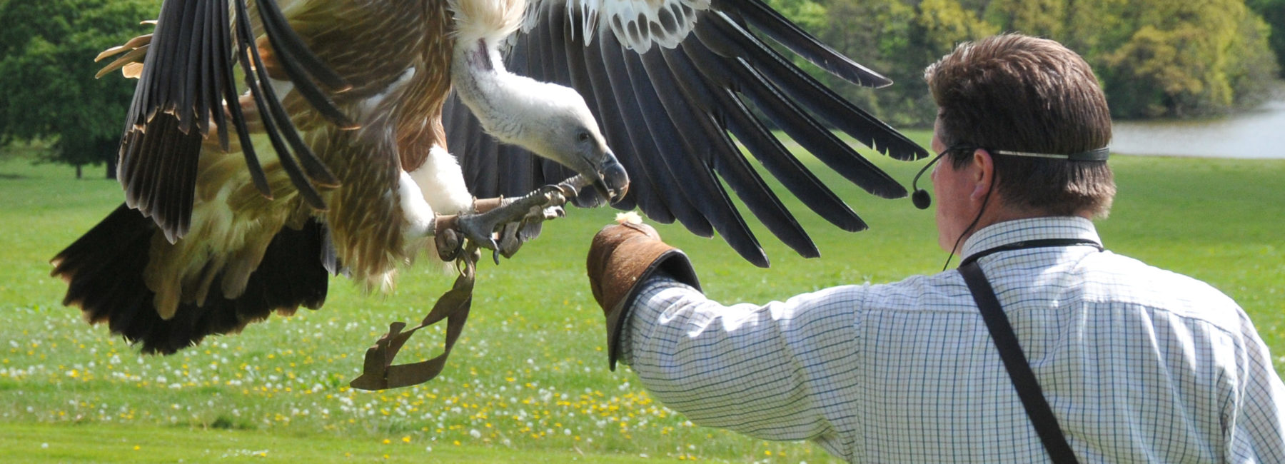 A vulture, landing on the outstretched arm of a man