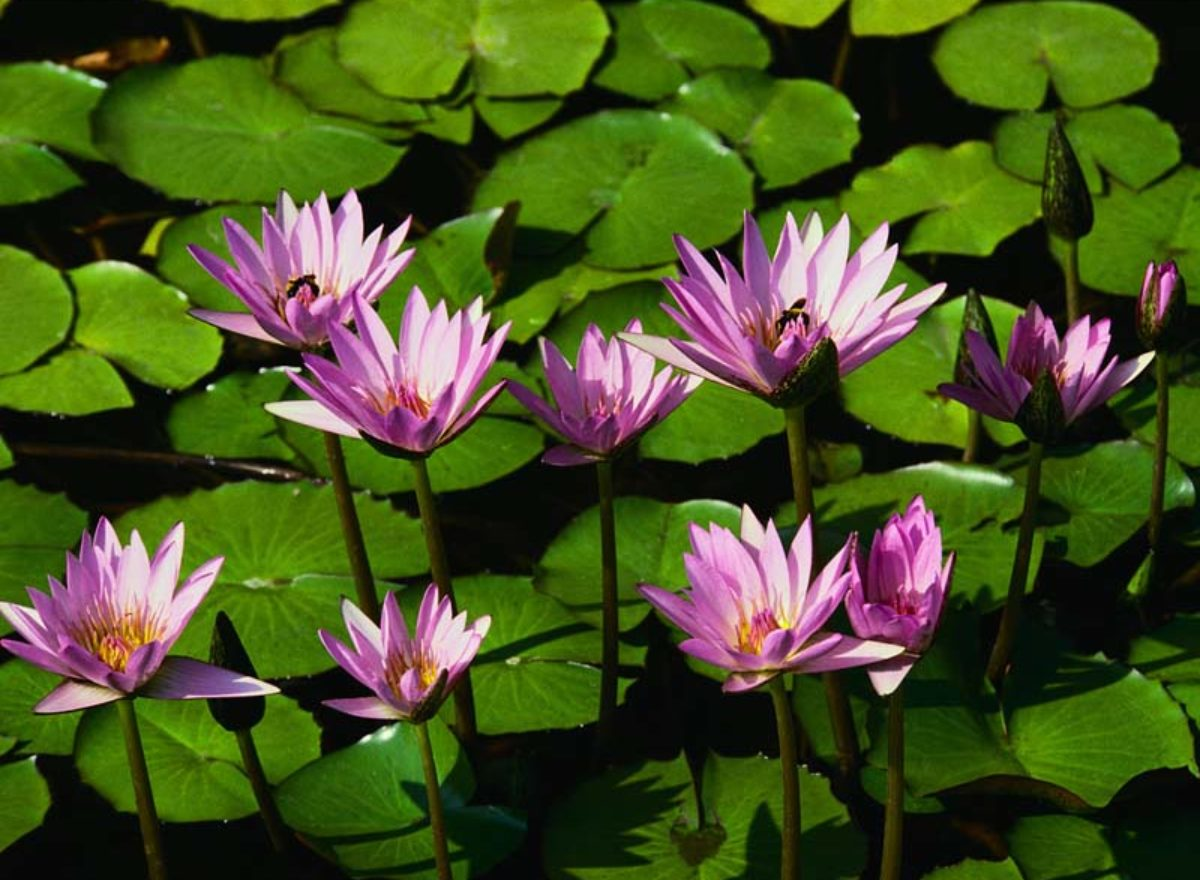 Garden Water Lilies