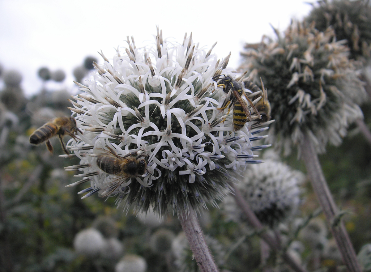 Globe thistle with bees and wasps