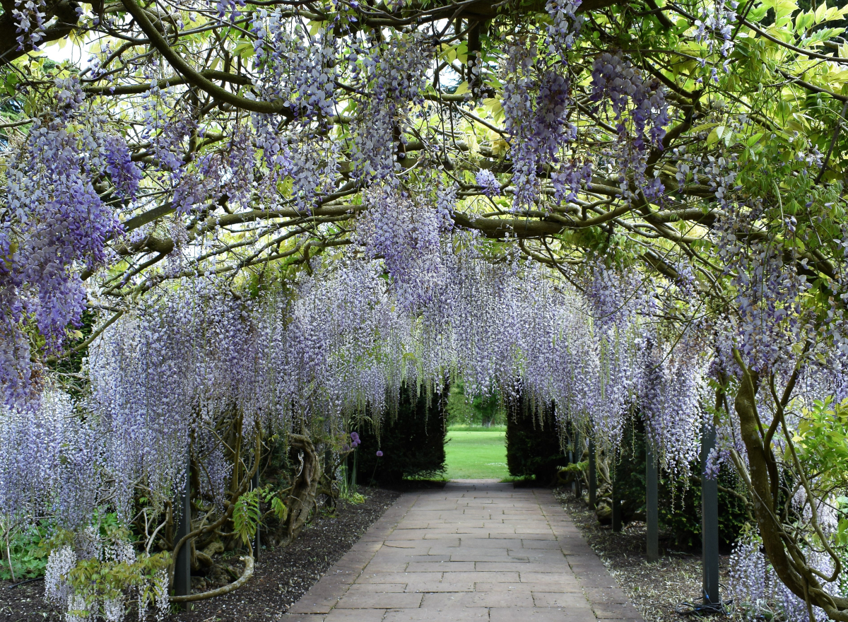central path with wisteria arch over the top