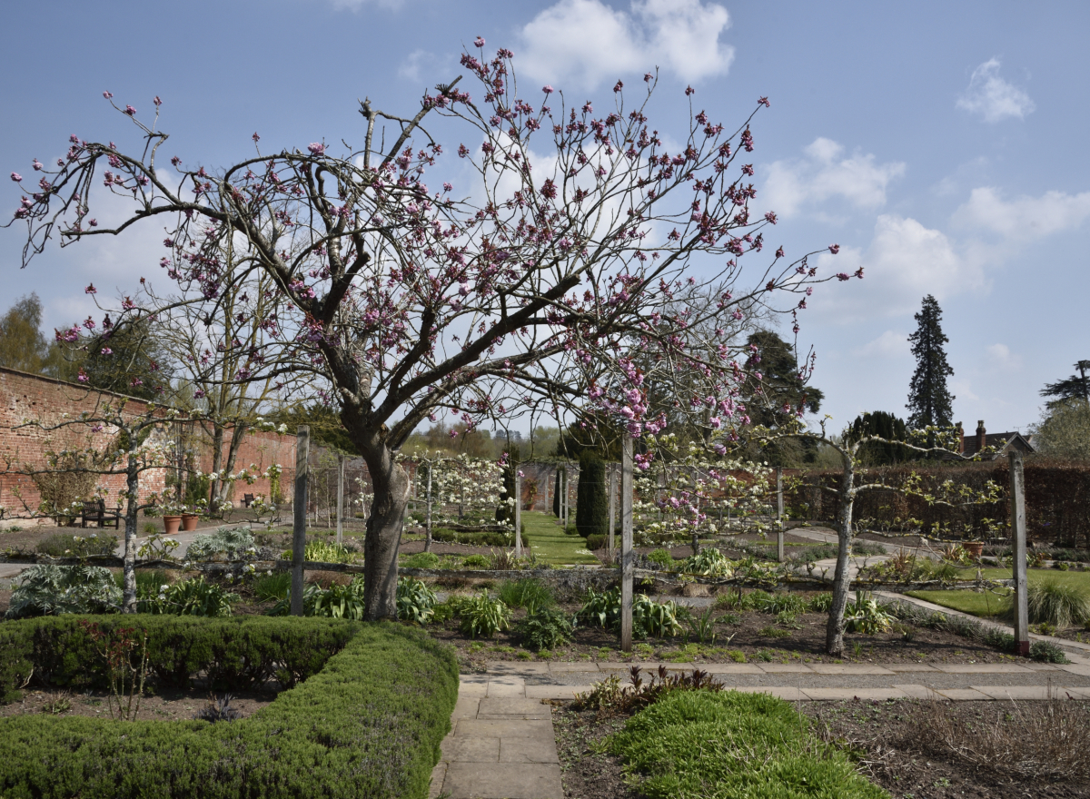 A tree, full of pink blossom, in front of a series of garden beds